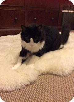 American Shorthair Cat for adoption in Naples, Florida - Romeo