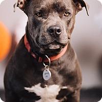 Adopt A Pet :: Chrome - Portland, OR