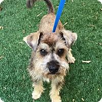Adopt A Pet :: Linus - Redondo Beach, CA