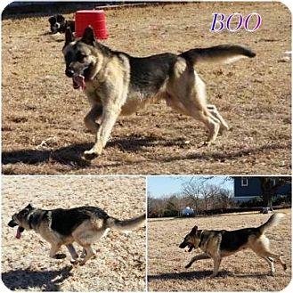 German Shepherd Dog Dog for adoption in Fort Worth, Texas - Boo