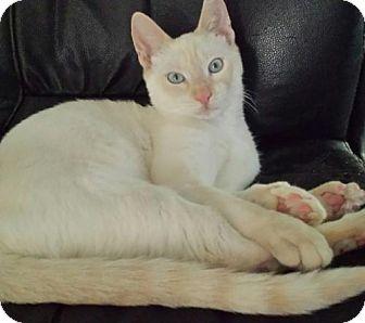 Siamese Kitten for adoption in Royal Palm Beach, Florida - Frankie