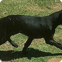 Adopt A Pet :: Raven - Las Cruces, NM