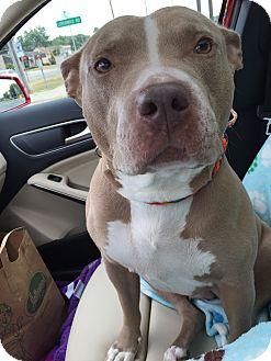 American Bulldog Mix Dog for adoption in Warren, Michigan - Skye Blue