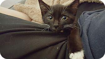 Domestic Shorthair Kitten for adoption in Baltimore, Maryland - June