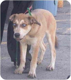 Siberian Husky Quebec Hanna | Adopted...