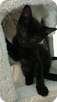 American Shorthair Kitten for adoption in Livonia, Michigan - Barney