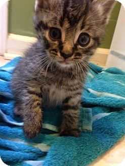 Domestic Shorthair Kitten for adoption in Asheboro, North Carolina - Mighty