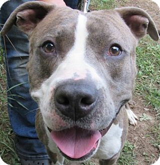Pit Bull Terrier Mix Dog for adoption in Port Jervis, New York - Zeus