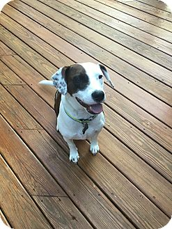 Pointer/Hound (Unknown Type) Mix Dog for adoption in Raleigh, North Carolina - CHARLIE