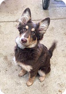 Australian Shepherd/German Shepherd Dog Mix Dog for adoption in Troy, Missouri - Hazel