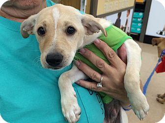 Terrier (Unknown Type, Small) Mix Puppy for adoption in Schertz, Texas - George