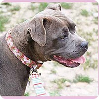 Adopt A Pet :: Bella Rose - South Bend, IN