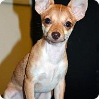 Adopt A Pet :: Tanner, a Chihuahua puppy - Arlington, WA