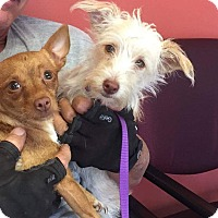 Adopt A Pet :: Bitty - Brea, CA