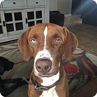 Adopt A Pet :: Wyatt Earp - BONITA, CA