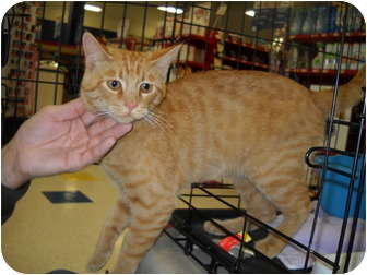 Domestic Shorthair Cat for adoption in Washington Terrace, Utah - FOUND CAT