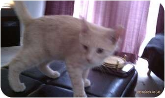 Domestic Shorthair Kitten for adoption in Morgan Hill, California - Squint Eastwood