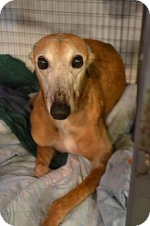 Greyhound Dog for adoption in Chagrin Falls, Ohio - Foxy (TMC's Foxy Lady)