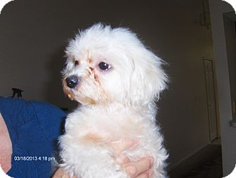 Maltese/Miniature Poodle Mix Dog for adoption in Orange Park, Florida - Dutchess