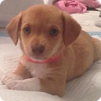Adopt A Pet :: Paris - Phoenix, AZ