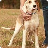 Adopt A Pet :: Gatsby ($300) - Staunton, VA