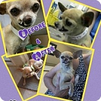 Adopt A Pet :: Little Richard - Mesa, AZ