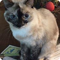 Siamese Cat for adoption in Garland, Texas - Chloe