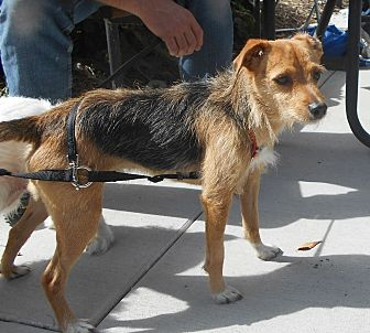 Jack Russell Terrier Mix Dog for adoption in Palmyra, Nebraska - Lenny