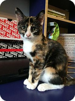 Domestic Shorthair Kitten for adoption in Baltimore, Maryland - .Bumblebee