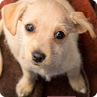 Terrier (Unknown Type, Small)/Chihuahua Mix Puppy for adoption in Marina del Rey, California - Cream