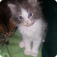 Turkish Angora Kitten for adoption in Burbank, California - Rosey