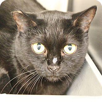Domestic Mediumhair Cat for adoption in Las Vegas, Nevada - *HAIRY