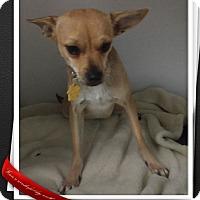 Adopt A Pet :: Triscuit - Apache Junction, AZ