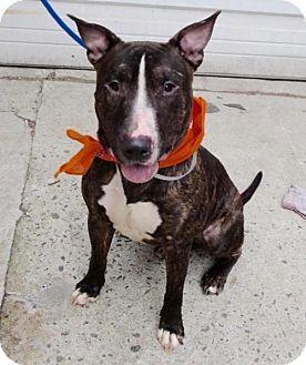 Bull Terrier Dog for adoption in Westerly, Rhode Island - Cheddar Bully Boy