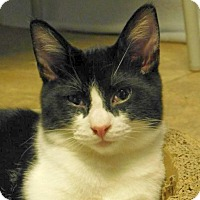 Domestic Shorthair Cat for adoption in Winston-Salem, North Carolina - Bobby Flay