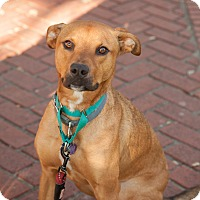Hound (Unknown Type)/Retriever (Unknown Type) Mix Dog for adoption in Houston, Texas - Milo