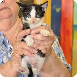 Domestic Shorthair Kitten for adoption in Sunrise Beach, Missouri - Tux