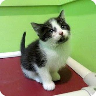 Siamese Kitten for adoption in Janesville, Wisconsin - Phoenix