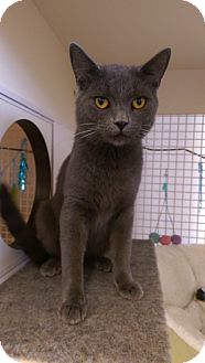 Russian Blue Cat for adoption in Bridgeton, Missouri - Lonnie