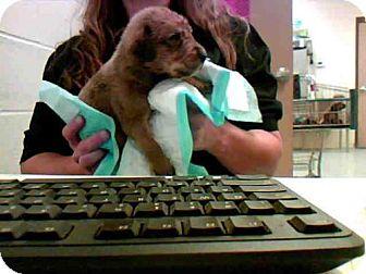 Labrador Retriever Mix Dog for adoption in Conroe, Texas - YELLA
