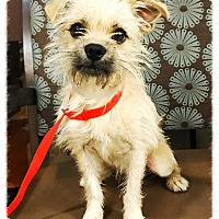 Terrier (Unknown Type, Small) Mix Dog for adoption in Los Alamitos, California - Hedgehog