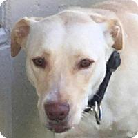 Adopt A Pet :: Honey - Manhattan, KS