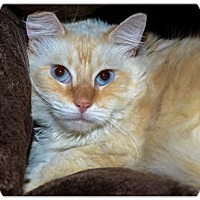 Himalayan Cat for adoption in Brick, New Jersey - Felix