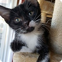 Domestic Shorthair Kitten for adoption in Florence, Kentucky - Amelia