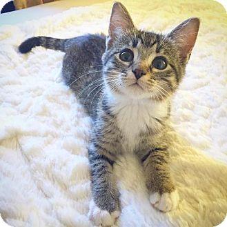 Domestic Shorthair Kitten for adoption in Shakopee, Minnesota - Quinn C1541