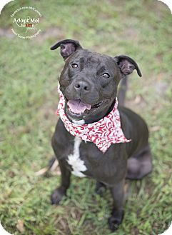 American Bulldog/Labrador Retriever Mix Dog for adoption in Portland, Oregon - Beau