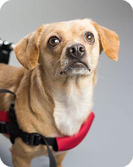 Chihuahua Mix Dog for adoption in Seattle, Washington - Chewey