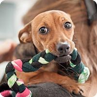 Adopt A Pet :: Rose - Dallas, TX