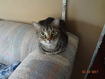 Domestic Shorthair Cat for adoption in Saint Albans, West Virginia - Jewels