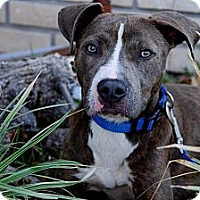 Pit Bull Terrier Mix Dog for adoption in Orlando, Florida - Egypt